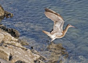 long-billed-curlew-1650116_960_720